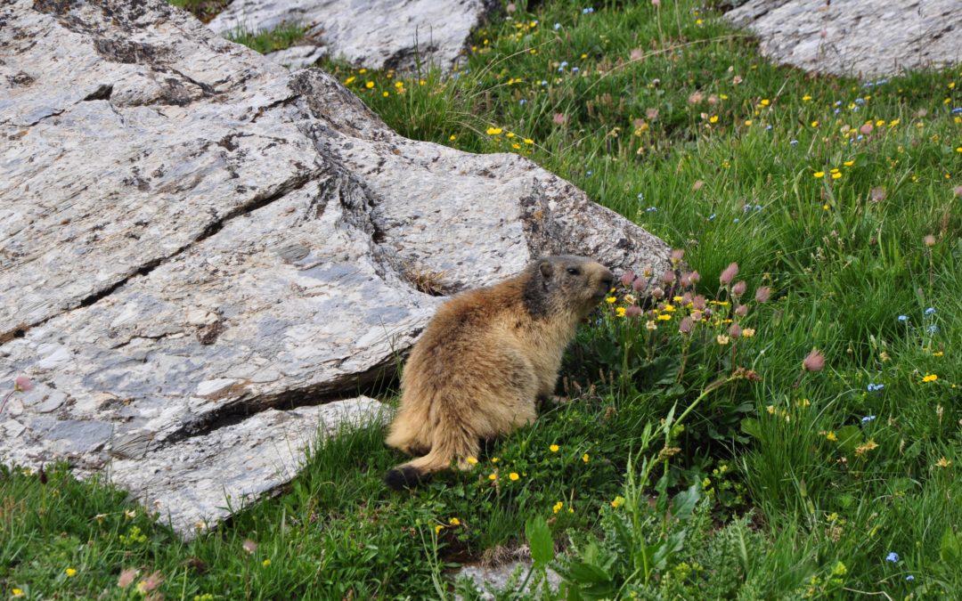 """La marmotta, la """"sentinella"""" di montagna!"""