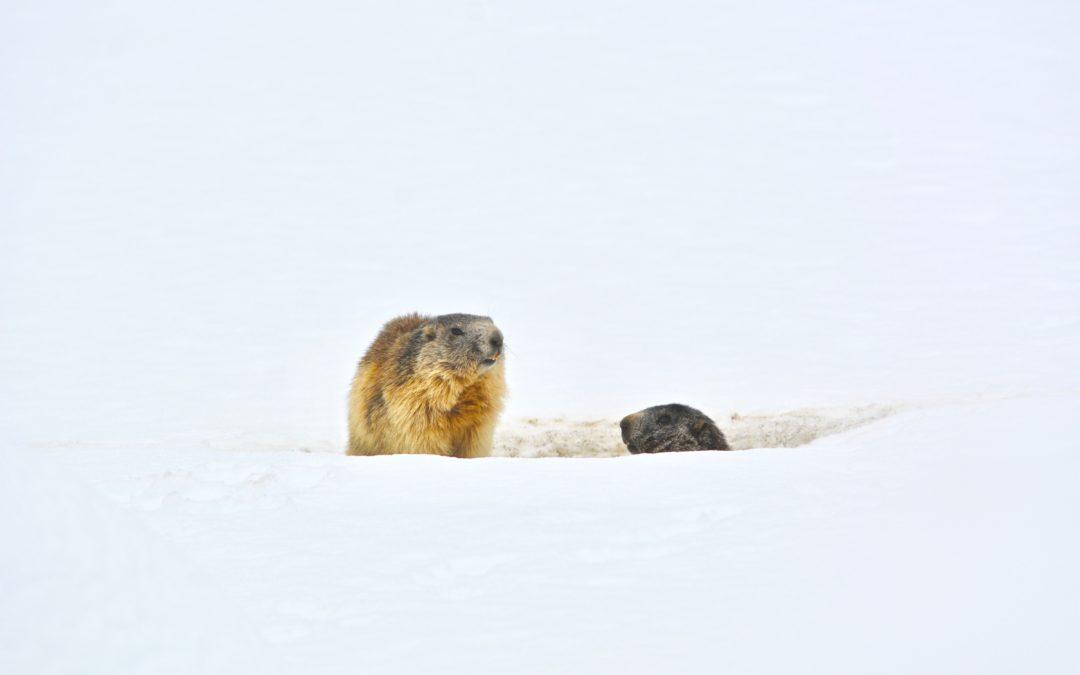 Le Marmotte e la Neve.