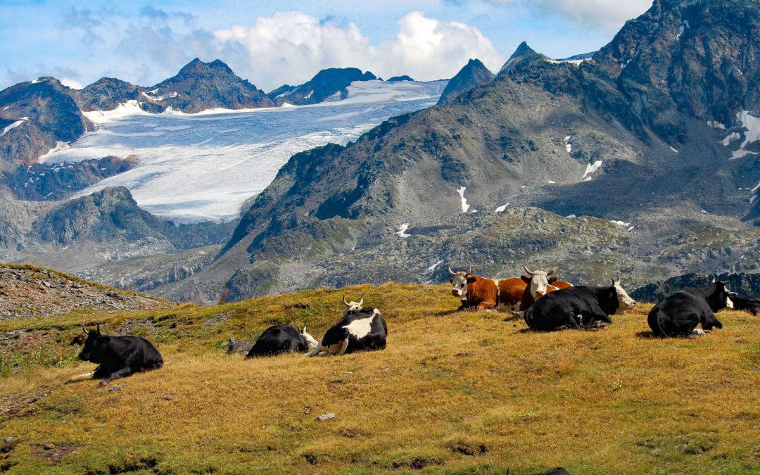 Mucche ai piedi del Rutor