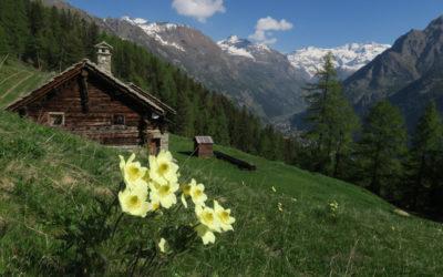 Sboccia la primavera al cospetto del Monte Rosa